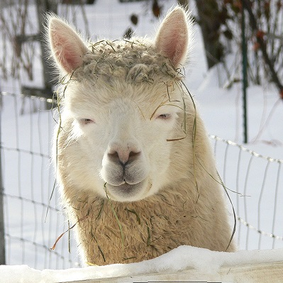 alpaca squinting in the snow at The Llama Sanctuary