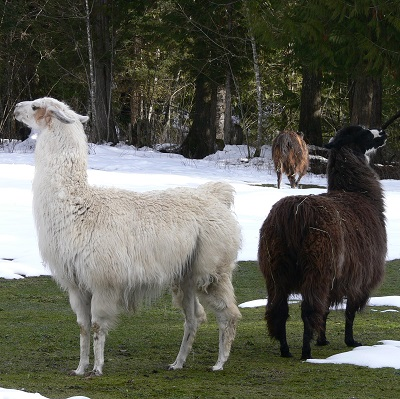 giving a home to a llama