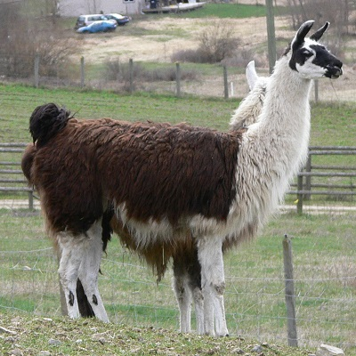 The Llama Sanctuary finding new homes for llamas in need