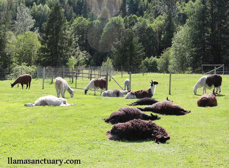 Llamas laying ll over the filed