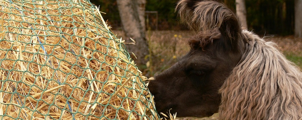 llama eating hay from a net