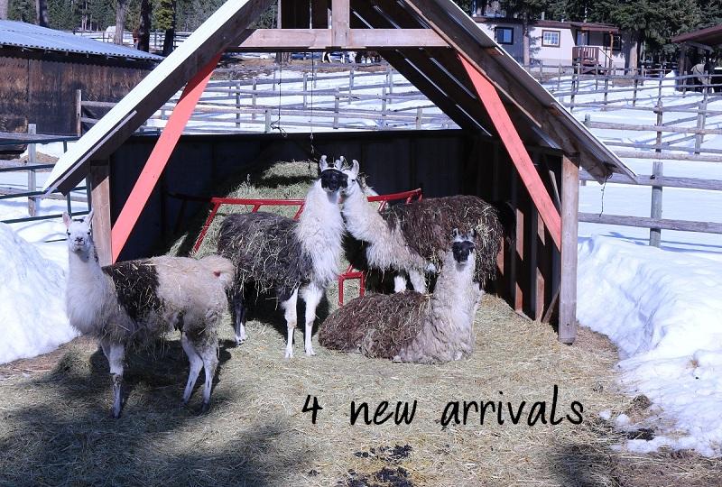 Georgie llama arrives in snow wearing coat