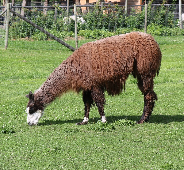 unexplained deaths required urgent relocation of llama Jett