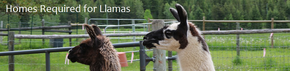 Llamas Seeking New Homes – June 2020