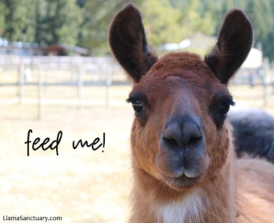 Llama Boutique is happy to give free carrot feeding tuition