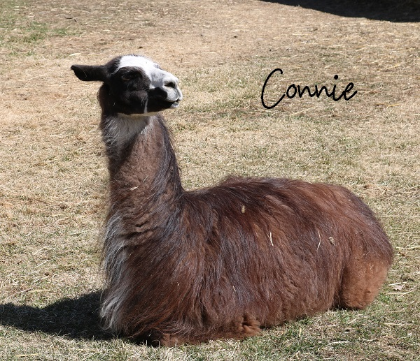 llama Connie, abandoned with several other llamas in the forest