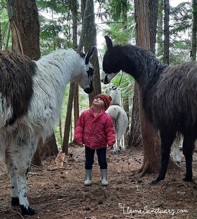 Gentle Giants of the llama world