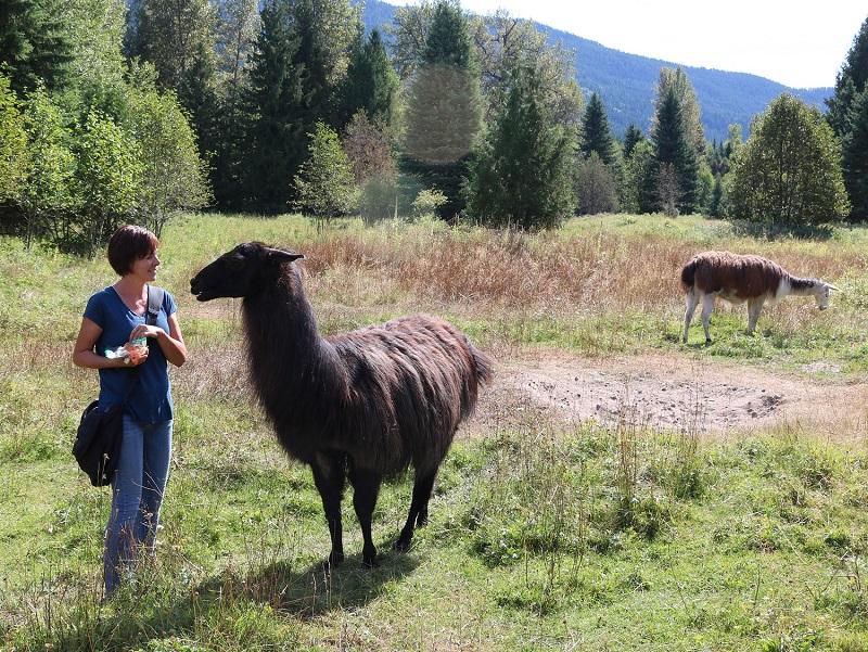 Llamas in the Park