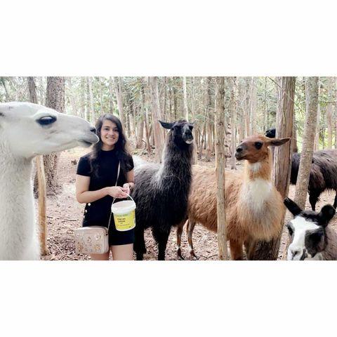 A Feast of Llamas