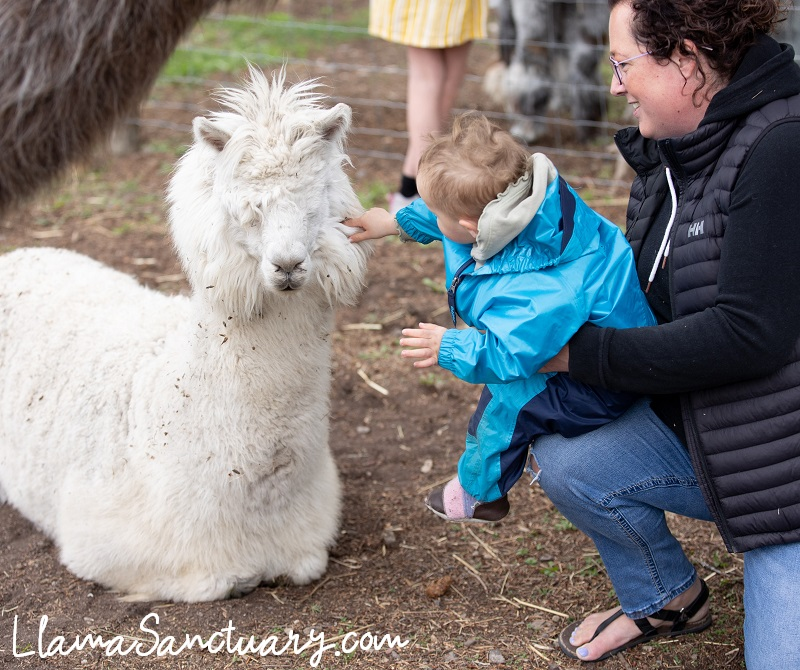 the gentle touch of a baby on the face of a blind alpaca